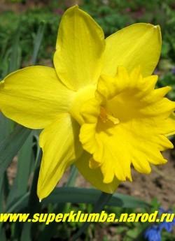 """Нарцисс """"ДАЧ МАСТЕР"""" (Narcissus """"Dutch Master"""") трубчатый. Яично-желтый , лепестки околоцветника широкие, трубка широкая длиной до 5 см, диаметр 5.4см. Край трубки отогнутый, широкозубчатый. Диаметр цветка до 11 см, высота 35 см. Ранний. НЕТ  В ПРОДАЖЕ"""
