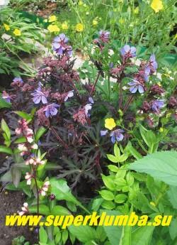 ГЕРАНЬ ЛУГОВАЯ «Блэк Бьюти» (Geranium pratense «Black Beauty») фото цветущего куста. Сочетание нежно-голубых цветов и черно-пурпурной листвы очень красиво. ЦЕНА 300 руб ( 1шт)