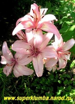 Лилия ШУГА ДЖЕВЕЛ (Lilium  Sugar Jewel) Азиатский гибрид. Нежно-розовые цветки с небольшим малиновым пятном в горле и небольшим золотистым высветлением вокруг него, небольшой крап. Высота 75-90 см . Цветение июль.    НЕТ В ПРОДАЖЕ