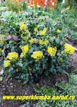 МАГОНИЯ ПАДУБОЛИСТНАЯ (Мahonia aquifolia) вечнозеленый кустарник с лакированными листьями, высота до 1 м, цветение  май-июнь. ЦЕНА 250-500 руб (3-5 летки)