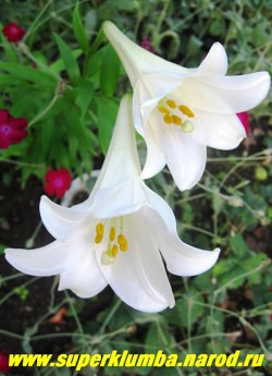 Лилия СНОУ КВИН (Lilium Snow Queen) трубчатая,  белая с сильным ароматом, цветет июль, высота до 100 см., НЕТ  В ПРОДАЖЕ