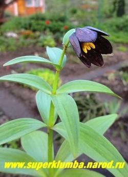 РЯБЧИК КАМЧАТСКИЙ (Fritillaria camtschatcensis)  эфемероидное луковичное лесное растение 35-60 см высотой. Листья расположены в мутовках по 5-10 штук, снизу сизоватые. Цветки темно- пурпуровые почти черные, внутри  со слабым шахматным рисунком, воронковидные, до 3,5 см длиной, по 2-3 на верхушке стебля. Цветет с конца мая до начала июня. НОВИНКА!   ЦЕНА 500-700 руб (1 шт)