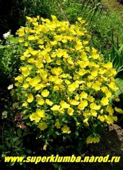 ЭНОТЕРА ЧЕТЫРЕХУГОЛЬНАЯ или ОСЛИННИК (Oenothera tetragona) Эффектное и крайне неприхотливое растение для любого сада. Листья овально-удлиненные, темно-зеленые высота до 40 см.  Предпочитает солнце, но может расти и в тени.  НЕТ В ПРОДАЖЕ
