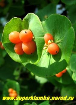 ЖИМОЛОСТЬ КАПРИФОЛЬ (Lonicera caprifolium)  Осенью жимолость украшают ярко-оранжевые несъедобные, но очень красивые ягоды. ЦЕНА 150-250 руб