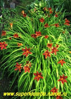 Лилейник ТЕРРАКОТОВЫЙ на кусту цветы смотрятся как множество ярких огоньков. Очень нарядный, неприхотливый, хорошо разрастается.  ЦЕНА 150 руб (1 шт) или 300 руб (кустик из 3 шт)