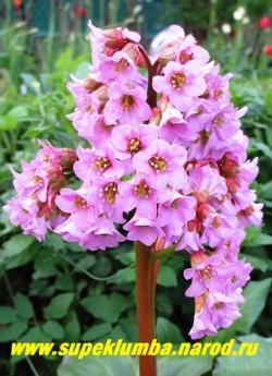 соцветие БАДАНА СЕРДЦЕЛИСТНОГО (Bergenia cordifolia) крупным планом. Высушенные листья бадана служат полезной заменой чая. ЦЕНА 200 руб (деленка)