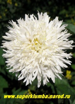 """Нивяник """"СНЕГУРКА"""" (Leucanthemum """"Snehurka"""") низкая, бордюрная махровая ромашка с узкими лепестками, диаметр 6-7 см, высота 30 см, длительное цветение с июля по сентябрь.  ЦЕНА 350 руб (делёнка)"""