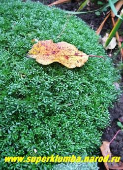 ГУТЧИНЗИЯ АЛЬПИЙСКАЯ или ДВУСЕМЯННИК. (Нutchinsia alpina) миниатюрное растение до 5 см высотой, с мелкими ажурными листьями . Образует густые, низкие подушки. Красива на террасах каменистых горок и в расщелинах между камнями. Цветет долго с мая по июль. ЦЕНА 200-250 руб. (1 дел)