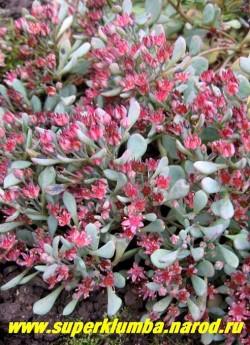 цветущий ОЧИТОК НАУТЕСНЫЙ (Sedum cauticola) Соцветие состоит из малоцветковых зонтиков . Цветки около 5 мм в диаметре, на коротких цветоножках. Лепестки ланцетные, розоватые, тычинки гранатово-пурпурные. Цветет в июле-октябре. ЦЕНА 250 руб