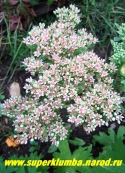 """цветет ОЧИТОК БЕЛОРОЗОВЫЙ """"Медиовариегата"""" (Sedum erythrostictum ''Mediovariegata'') НОВИНКА! Цветы зеленовато-розоватые, собраны в крупное верхушечное соцветие. Цветет с августа до морозов. ЦЕНА 200 руб (1 деленка)"""