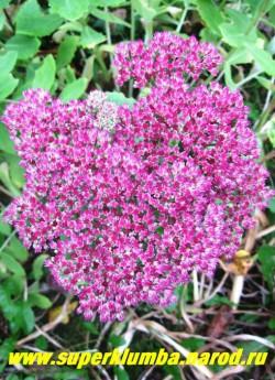 """ОЧИТОК ВИДНЫЙ """"Бриллиант"""" (Sedum spectabile """"Brilliant"""") Цветки малиново- розовые, собраны в полузонтики до 15 см в поперечнике. Цветет в сентябре-октябре 35-40 дней. ЦЕНА 100-200 руб (1 деленка)"""