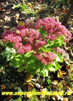 """ОЧИТОК ВИДНЫЙ """"Бриллиант"""" (Sedum spectabile """"Brilliant"""") осенью. Предпочитает солнечное место и богатую почву. Одно из немногих растений украшающих сад до снега. Цветы хорошо стоят в срезке . ЦЕНА 100-200 руб (1 деленка)"""