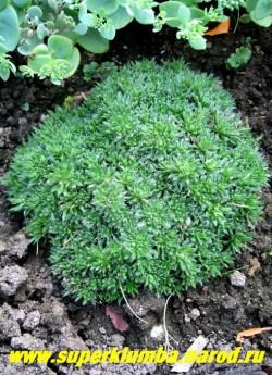 КРУПКА или ДРАБА (Draba) миниатюрный подушковидный многолетник с вечнозелеными густо опушенными листьями серебристо-зеленого цвета , высота до 3 см, цветет в июне желтыми цветами собранными в кистевидные соцветия до 5 см высотой, Предпочитает солнечные и сухие места с легкой песчаной почвой.  ЦЕНА 300 руб (1дел)