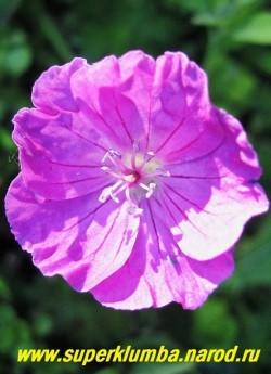 """ГЕРАНЬ КРОВАВО- КРАСНАЯ """"Вижн вайолет"""" (Geranium sanguineum """"Vision  violet"""") цветок крупным планом. ЦЕНА 150 руб (1 шт.)"""