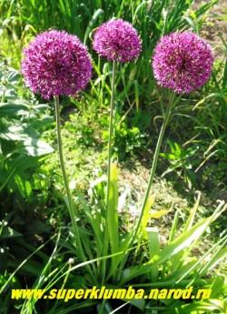 """кустик ЛУКА ГОЛЛАНДСКОГО """"Перпл Сенсейшен"""" (Allium hollandicum ''Purple Sensation'') в моем саду. Пурпурный цвет темнеет до почти фиолетового в процессе цветения . НОВИНКА!  ЦЕНА 100 руб  (1 лук)"""