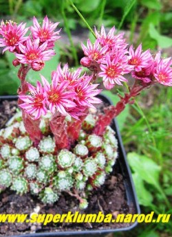 МОЛОДИЛО ПАУТИНИСТОЕ №18 (Sempervivum arachnoideum) малюсенькие розеточки диаметром 1-1,5см, образуют плотную кочку, цветет крупными малиново-розовыми цветами. НОВИНКА! ЦЕНА 100 руб (3-5 роз)
