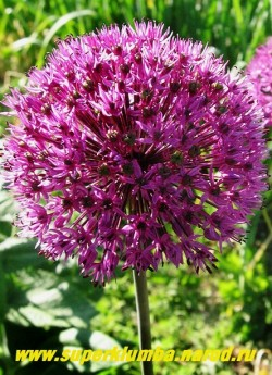 """ЛУК ГОЛЛАНДСКИЙ """"Перпл Сенсейшен"""" (Allium hollandicum ''Purple Sensation'') гибридный сорт лука с темно-пурпурными цветками собранными в крупные головчатые соцветия. Высота цветоносов до 80 см, листья широкие ремновидные. Цветет в мае-июне. НОВИНКА! ЦЕНА 100 руб  (1 лук)"""