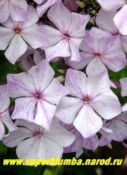 Флокс метельчатый ШУТКА (Phlox paniculata Shutka) цветы крупным планом.  ЦЕНА 300 руб (1 шт) или 600 руб (кустик: 3-4 шт) НЕТ НА ВЕСНУ