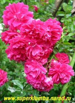"""РОЗА """"ЭКСЕЛЬЗА"""" (Excelsa) плетистая роза с побегами до 3 м, усыпанными густомахровыми цветами малиново-красного цвета , собранными в кисти по 20-30шт. Цветет на прошлогодних побегах, которые необходимо снимать со шпалеры и прикрывать на зиму. ЦЕНА 400-500 руб 4-5 ЛЕТКА)"""