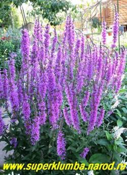ДЕРБЕННИК ИВОЛИСТНЫЙ (Lythrum salicaria)  очень декоративное и неприхотливое растение, цветет в июле- августе, выс. до 130 см, предпочитает солнечные места. ЦЕНА 250-300 руб (делёнка)