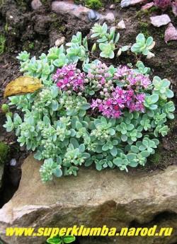 зацветает ОЧИТОК ЭВЕРСА ОДИНАКОВОЛИСТНЫЙ (Sedum ewersii var. homophyllum) цветет в августе-сентябре малиновыми звездчатыми цветами собранными в рыхлые щитковидные соцветия. Разрастается не быстро. ЦЕНА 250-300 руб (1 деленка)