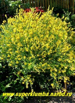 ДРОК КРАСИЛЬНЫЙ (Genista tincioria)  Очень изящный обильноцветущий кустарник похожий на форзицию, но более морозоусточивый, высота 100-150 см, цветет продолжительно в июле-августе.  ЦЕНА 300-400 руб (3-4 летки)