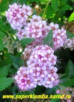 """СПИРЕЯ ЯПОНСКАЯ """"Альпина"""" (Spiraea japonica """"Alpina"""")  соцветие крупным планом. Цветет с июня в течение 45 дней розово-красными цветками, собранными в сложные, щитковидно-метельчатые соцветия до 3 - 5 см в диаметре., завершающие однолетние побеги. НЕТ  В ПРОДАЖЕ"""