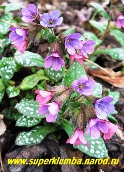 Воронковидные розовые вначале и в конце цветения фиолетовые цветы МЕДУНИЦЫ САХАРНОЙ появляются уже в апреле и радуют своим пышным цветением до июня.  ЦЕНА 150 руб  (делёнка)