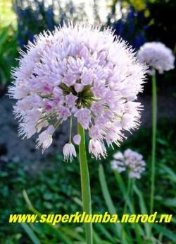 цветет ЛУК СЛИЗУН (Allium nutans) нежно сиреневые головчатые соцветия диаметром до 6см очень декоративны, съедобны листья и луковицы, листья долго не грубеющие с чуть чесночным привкусом. ЦЕНА 100 руб (деленка 2-3 шт) НЕТ НА ВЕСНУ
