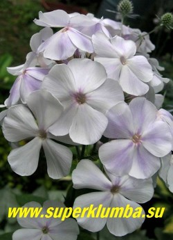 Флокс метельчатый НЕБЕСА (Phlox paniculata Nebesa) Репрёв Ю.А., 1980, СР, 75/4. Белый с голубыит тенями, бутоны голубые, диаметр цветка 4-5 см, высота 75-80 см. Соцветие округло-коническое, большое, плотное. Куст красивый, прочный. Один из лучших белых сортов. ЦЕНА 300 руб (1 шт) или 600 руб (кустик: 3-4 шт)