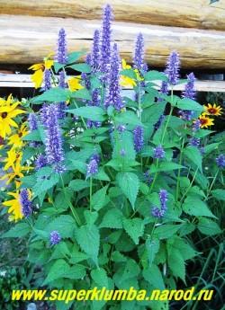 """МЯТА МЕКСИКАНСКАЯ или ЛОФАНТ """"Синяя"""" (Agastache mexicana) пряность, самая красивая из мят , синие колосовидные соцветия украшают пышный куст с июля, листья добавляют в чай и др. блюда , высота до 80 см, ЦЕНА 200 руб (1шт)"""