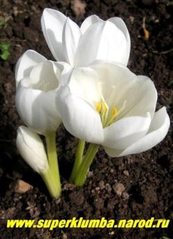 """БЕЗВРЕМЕННИК ВЕЛИКОЛЕПНЫЙ """"АЛЬБУМ"""" (Сolchicum speciosum f. album ) редкая и очень красивая белоцветковая форма , крупные белоснежно-восковые цветы диаметром до 12 см , высота с цветоносом до 20 см, цветет сентябрь-октябрь.  ЦЕНА 500 руб  НЕТ В ПРОДАЖЕ"""