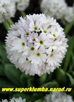 """Примула мелкозубчатая """"БЕЛАЯ С СИРЕНЕВОЙ ДЫМКОЙ"""" (Primula denticulata) высота до 20 см, цветет апрель-май. ЦЕНА 200 руб  (штука)"""