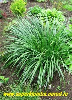 До или после цветения кустик ИРИСА ЗЛАКОВИДНОГО (Iris graminea) действительно похож на куст злака.  ЦЕНА 200-250 руб (1 делёнка)