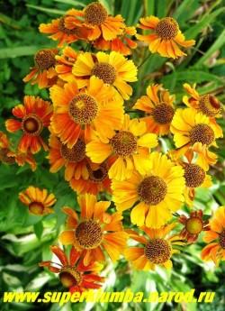 """ГЕЛЕНИУМ ОСЕННИЙ """"Желто-оранжевый"""" (Helenium autumnale) цветы желтые с неравномерными оранжево-красными мазками, серединка коричневая, цветёт с августа 40-45 дней. Высота до 120 см, ЦЕНА 200 руб (делёнка)"""