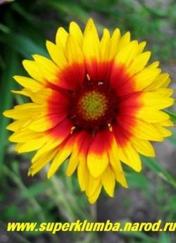 """ГАЙЛЛАРДИЯ  ГИБРИДНАЯ """"БРЕМЕН"""" (Gaillardia 'Bremen') многолетнее растение с яркими коасно-желтыми цветами диаметром 5-6см. Высота 40-60см . Цветет обильно с июня до морозов. ЦЕНА 200 руб (делёнка)"""