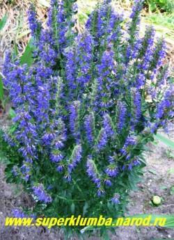 """ИССОП ЛЕКАРСТВЕННЫЙ """"Синий"""" (Hyssopus officinalis) очень декоративен когда цветет, Цветки мелкие синие , расположены по три-семь в пазухах листьев, образуют колосовидное соцветие в верхней части стебля. Кустик долго остается декоративным, цветя с конца июня до сентября , высота с цветами до 60 см. ЦЕНА 250 руб НЕТ НА ВЕСНУ"""