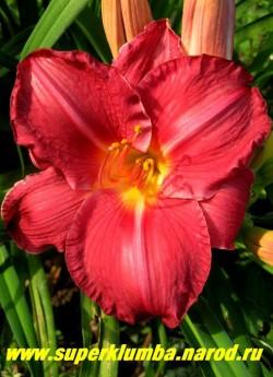 """Лилейник ЧИКАГО АПАЧИ (Hemerocallis Chicago Apache) насыщенно- красные огромные цветы! диаметр 15-16 см, прекрасно смотрится в паре с """"Вайт Дроп"""",цветет июль-август, высота до 60 см, ЦЕНА 300 руб (1 шт)"""