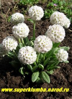 """Примула мелкозубчатая """"БЕЛАЯ С СИРЕНЕВОЙ ДЫМКОЙ"""" (Primula denticulata)  фото куста. ЦЕНА 200 руб  (штука)"""