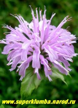 """МОНАРДА ГИБРИДНАЯ №1 """"сиреневая"""" (Monarda х hybrida) , сиреневые цветы в собранные в верхушечные головчатые соцветия , ароматные листья (пряность), высота до 70см, цветет в июле-августе 50 дней. ЦЕНА 250 руб (1дел)"""