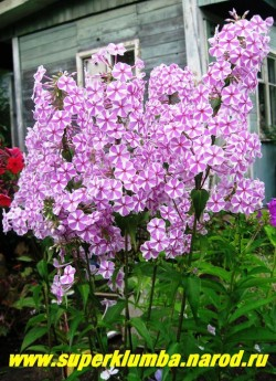 "На фото куст флокса пятнистого НАТАША (Phlox maculata ""Natascha"") в моем саду.  ЦЕНА 250 руб (1шт)  или 500 руб (кустик : 3-4 шт) НЕТ НА ВЕСНУ"