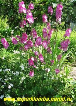 СИДАЛЬЦЕЯ МАЛЬВОЦВЕТКОВАЯ (Sidalcea malvaeflora) , из прикорневой розетки округлых листьев поднимаются прямые до 80см цветоносы, цветет июль-август, ЦЕНА 250 руб  (делёнка)