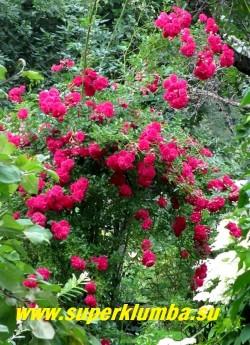 """куст РОЗЫ """"ЭКСЕЛЬЗА"""" (Excelsa) в саду. Цветет однократно , несколько позже чем основная масса плетистых сортов. ЦЕНА 400-500 руб 4-5 ЛЕТКА)"""