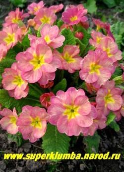 Примула бесстебельная «КРЕМОВО-РОЗОВАЯ», кремово-розовые цветы с небольшой желтой звездочкой в центре, темнеют до темно-розового по мере роспуска, крупноцветковая, выс. до 10 см ,цветет в мае,  НЕТ В ПРОДАЖЕ