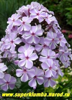 Флокс Арендса ОЛЛ ИН ВАН (Phlox arendsii All in One) Jan Verschoor , С, 70/2. Душистые цветки с лепестками сиренево-розового цвета с белой окантовкой, очень большое разветвленное плотное соцветие. ЦЕНА 250 руб (1 шт)  или 500 (кустик: 3-4 шт)