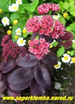 """ОЧИТОК ТЕЛЕФИУМ """"Пурпур Эмперор"""" (Sedum telephium ''Purpur Emperor'') очень красивый очиток формирующий округлый куст , высотой 30-40 см, с пурпурными стеблями, темно-пурпурными листьями и красными цветками. ЦЕНА 250 руб (1 деленка)"""