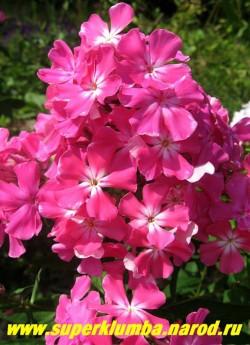 Флокс метельчатый ЕВА ФОСТЕР (Phlox paniculata Eva Foerster) Foerster, 1934, С, 70/4. Цветы розовые с лососевым оттенком и большим белым центром, который занимает почти половину лепестка и оканчивается двумя четкими лучами, соцветие плотное крупное. ЦЕНА 400 руб (1 шт) НЕТ НА ВЕСНУ
