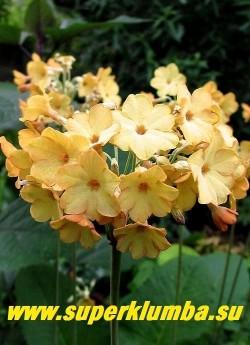 ПРИМУЛА ФЛОРИНДЫ (Primula f florindae x waltonii) фото цветов крупным планом. ЦЕНА 300 руб (штука)