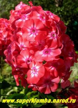 Флокс метельчатый КОРАЛЛ (Phlox paniculata Koralle) Форстер, 1939., С, 60/3,9. Исключительно яркий и нарядный , оранжево-красный с посветлением в центре и маленьким пурпурным сердечком. ЦЕНА 250 руб (1 шт) или 500 руб (кустик: 3-4шт)