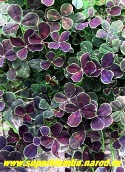 """КЛЕВЕР ПОЛЗУЧИЙ """"Атропурпуреа"""" (Trifolium repens """"Atropurpurea"""") листва крупным планом. Требует солнечного места, при затенении пурпурная окраска уменьшается и листья зеленеют. Очень красиво смотриться на горке и в бордюре в сочетании с зеленолистными и желтолистными растениями. ЦЕНА 250 руб. (деленка) НЕТ НА ВЕСНУ"""